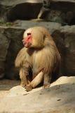 狒狒hamadryas 库存照片
