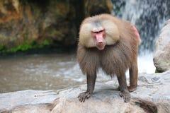 狒狒hamadryas 免版税图库摄影