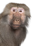 狒狒hamadryas simia 图库摄影