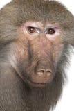 狒狒hamadryas simia 免版税图库摄影