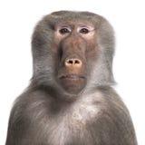 狒狒hamadryas simia 免版税库存图片
