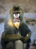 狒狒mandrill 库存图片