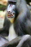 狒狒mandrill 库存照片
