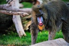 狒狒mandrill 免版税库存照片