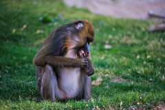 狒狒mandrill 图库摄影