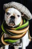 狗、牛头犬与盖帽,礼服和玻璃 免版税库存照片
