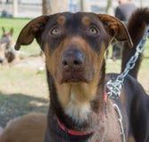 狗不高兴的生活在避难所的 免版税库存图片