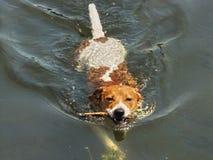 狗举行一根棍子在水中 免版税库存照片
