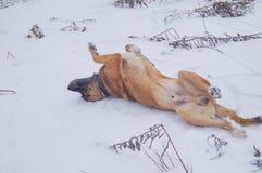 狗享用雪 免版税库存照片