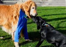 狗亲吻 免版税库存照片