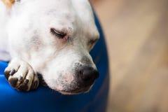 狗休眠 免版税库存图片