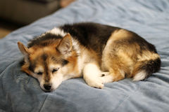 狗休眠 库存照片