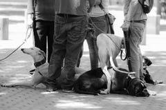 狗会议与他们的大师的 免版税库存图片