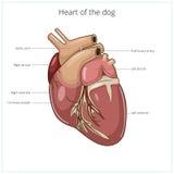 狗传染媒介例证的心脏 免版税图库摄影