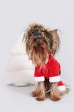 狗作为圣诞老人穿戴的约克夏狗坐 库存图片