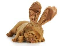 狗佩带的兔宝宝耳朵 免版税库存图片
