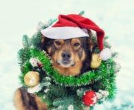 狗佩带的圣诞节花圈和圣诞老人帽子 免版税库存图片