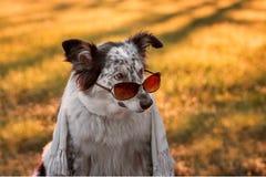 狗佩带的太阳镜和围巾 免版税库存图片