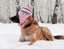 狗佩带的帽子走室外 免版税图库摄影