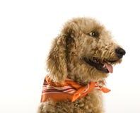 狗佩带的班丹纳花绸 免版税图库摄影