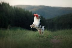 狗使用与在领域的圆盘 与宠物的体育 免版税图库摄影