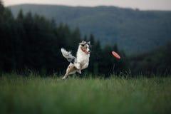 狗使用与在领域的圆盘 与宠物的体育 免版税库存图片