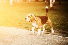 狗使用在公园的小猎犬小狗 在皮带的服从的宠物 与copyspace和颜色温暖的火光的照片文本和设计的 免版税库存图片