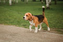 狗使用在公园的小猎犬小狗 在皮带的服从的宠物 免版税库存照片