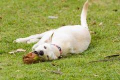 狗使用用椰子它是乐趣 图库摄影