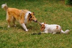 狗使用 免版税库存照片