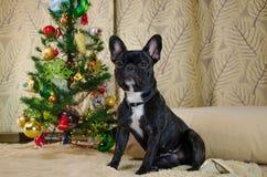 狗充分的成长新年假日 宠物是黑,幼小法国牛头犬 室在圣诞树附近的狗位置 库存图片