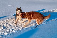 狗充当雪 西伯利亚爱斯基摩人犬战和叮咬在随风飘飞的雪 温暖的轻的晚上冬天太阳 狗结构 库存图片