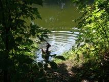 狗决定在河游泳 免版税图库摄影