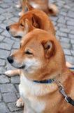 狗凝视的孪生 库存图片