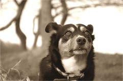 狗凝视 免版税库存照片