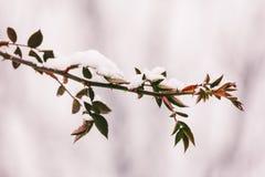 狗分支上升了与刺和红色叶子在雪在冬天 特写镜头 库存图片