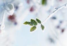 狗分支上升了与在冰冷的白色盖的绿色叶子f 图库摄影