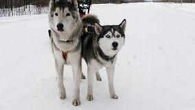 狗利用了雪撬 影视素材