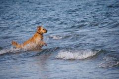 狗到海里 免版税库存图片