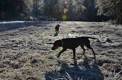 狗剪影在早晨冬天太阳的 免版税库存图片