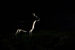 狗剪影在晚上 免版税库存照片
