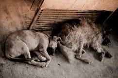 狗包装迷路者 库存图片