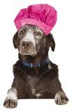狗厨师厨师用在它的面孔的面粉 免版税图库摄影