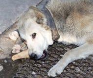 狗吃一根骨头本质上 图库摄影