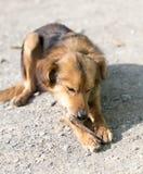 狗吃一根骨头 库存照片