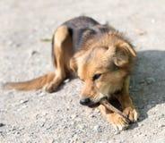 狗吃一根骨头 免版税库存照片