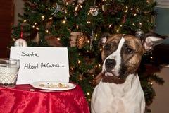 狗吃圣诞老人曲奇饼。 库存图片