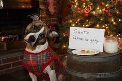 狗吃圣诞老人曲奇饼 库存照片