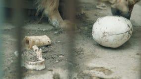 狗吃着一块人的头骨 股票录像