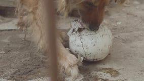 狗吃着一块人的头骨 影视素材